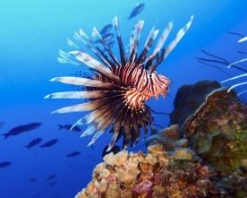 Koraalduivel bedreigt vis bij Curaçao